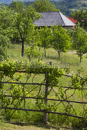 romania maramures region laschia vineyard