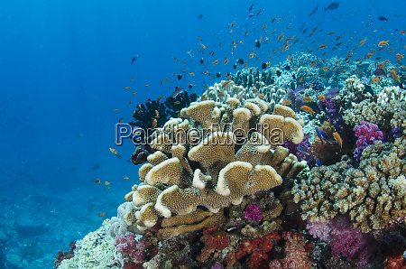 korallenriff vielfalt fidschi