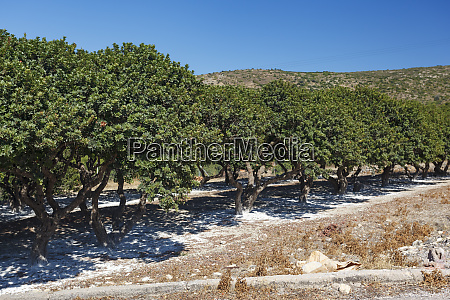 mastic trees chios island greece