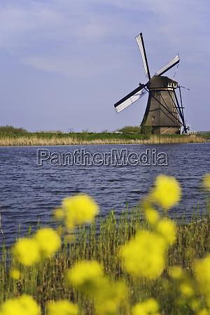 netherlands kinderdijk windmill and flowers next