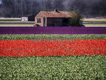 netherlands southern holland province lisse tulip