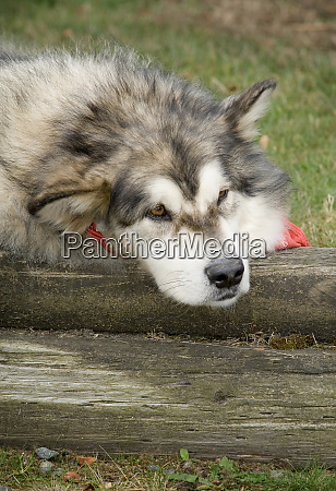 canada british columbia cowichan valley dog
