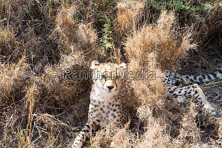 gepardenjunge serengeti nationalpark tansania afrika