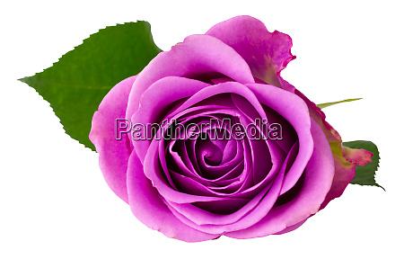 wunderbare rose rosaceae isoliert auf weissem