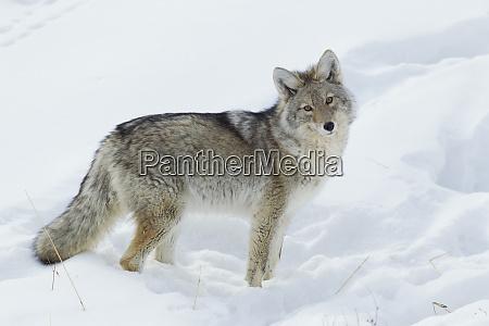 coyote suchen