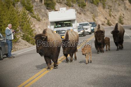 yellowstone nationalpark wyoming usa bison zu
