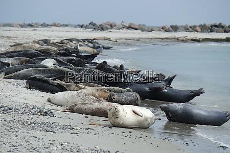 graue seehunde am strand des helgoland