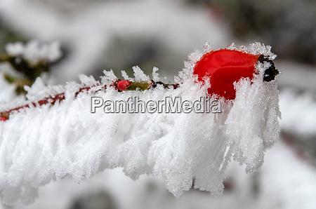 rosenhuefte im busch im winter