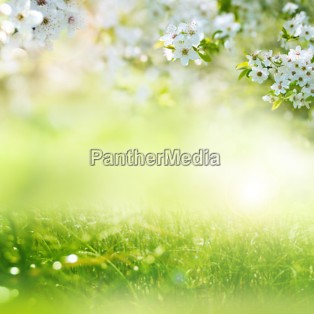 fruehlingswiese mit kirschblueten