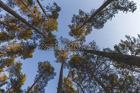 deutschland brandenburg beelitz kiefernwald wurmblick