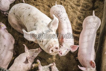 hochwinkelansicht von schweinen die in schweinen
