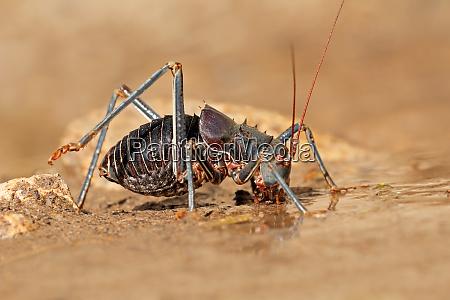afrikanischer panzer cricket