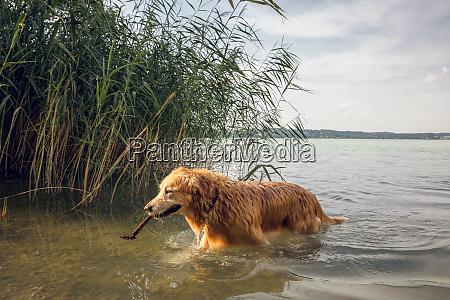 golden retriever zu fuss am seeufer