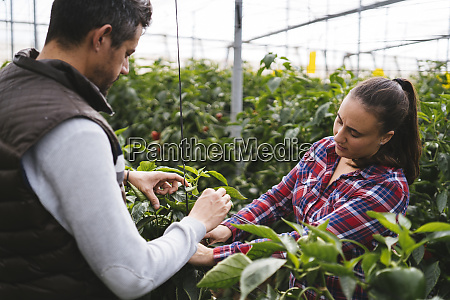 mann und frau ernten paprika in