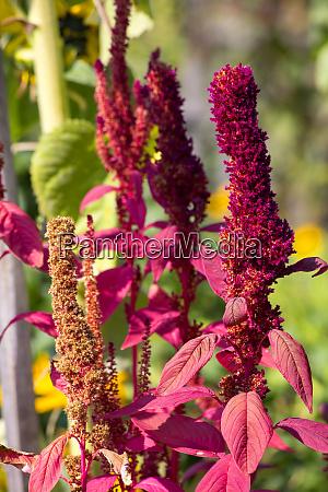 amaranth-pflanzen, im, sonnenlicht - 28050789