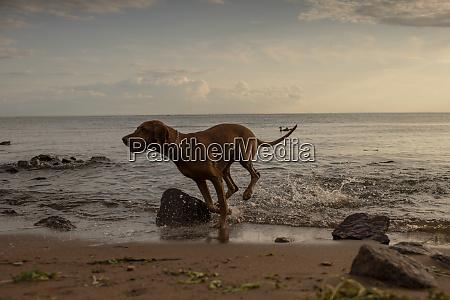 hund laeuft am strand am abend