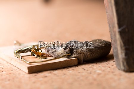 maus in der mausefalle