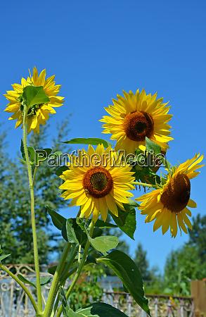 sonnenblumen und blauer himmel