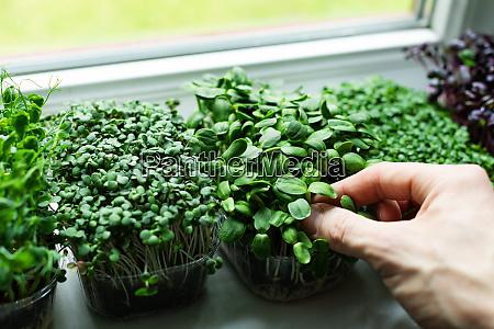 kitchen garden microgreens growing on