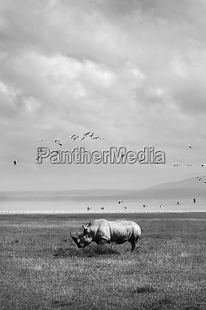 rhinoceros in freier wildbahn