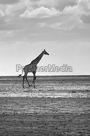 afrikanische giraffe in freier wildbahn