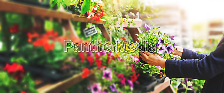 woman pick petunia flower pot from