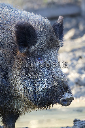 wild boar a close up portrait