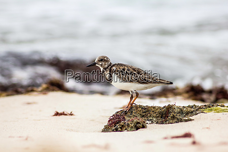 dulus dominicus zieht am strand um