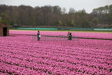 rosa tulpenfelder des bollenstreek suedholland niederlande