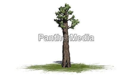 riesen redwood baum auf einer gruenflaeche