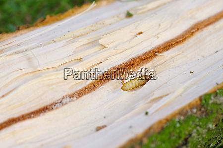 borkenkaefer welpen und galerien aus fichtenholz