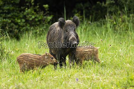 wildschweinherde steht in unmittelbarer naehe zueinander