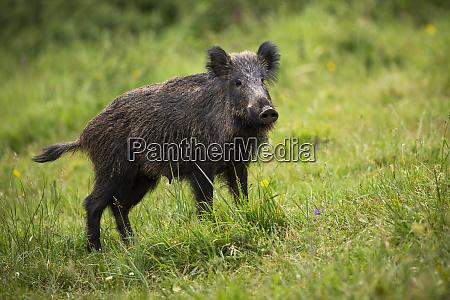 alarm wildschwein hoert auf gruener wiese