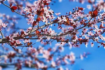 bluehender pflaumenbaum