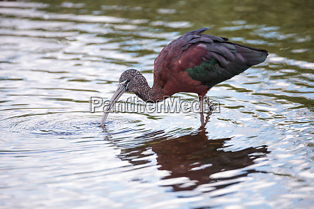 glaenzend ibis plegadis falcinellus watet durch