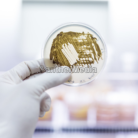 scientist growing bacteria in petri dishes