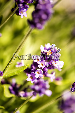 lavender with blurred background