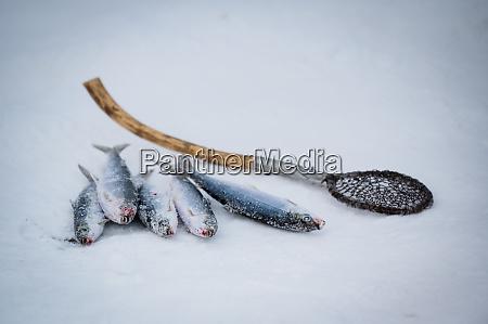 omulfische aus baikalsee im winter