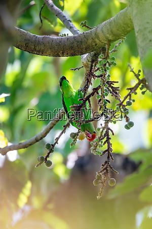 bird black winged lovebird thiopia africa