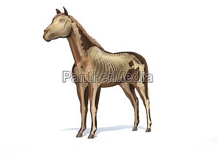 pferd anatomie skelettsystem