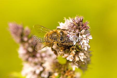 honigbiene auf einer blume einer pfefferminze
