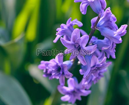 strauss von blau bluehenden orientalischen hyazinthen