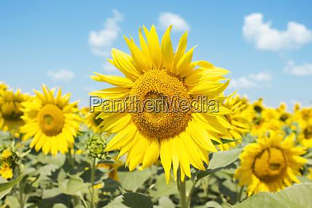 sonnenblume, nahaufnahme, im, feld, mit, blauem - 28283726