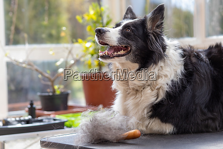 side view of border collie dog