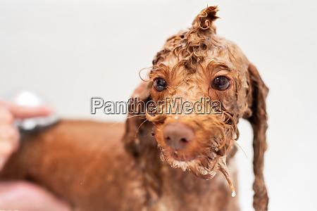 waschen pudel hund in haustier pflege