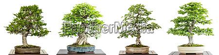 buche und hainbuche bonsai baum weiss