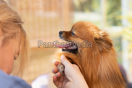 side view of grooming cute pomeranian