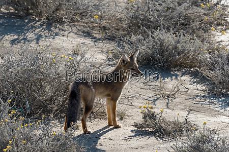suedamerikanischer graufuchs lycalopex griseus patagonienfuchs oder