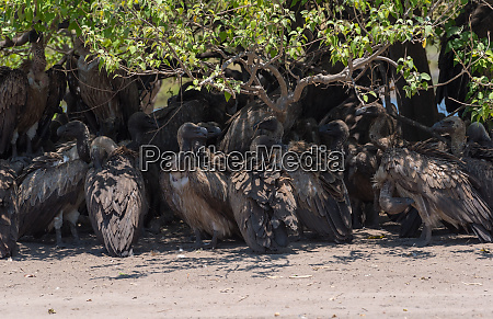 white backed vulture in the shade