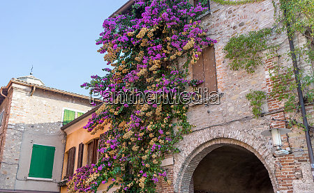 flowering bougainvillea in front of a